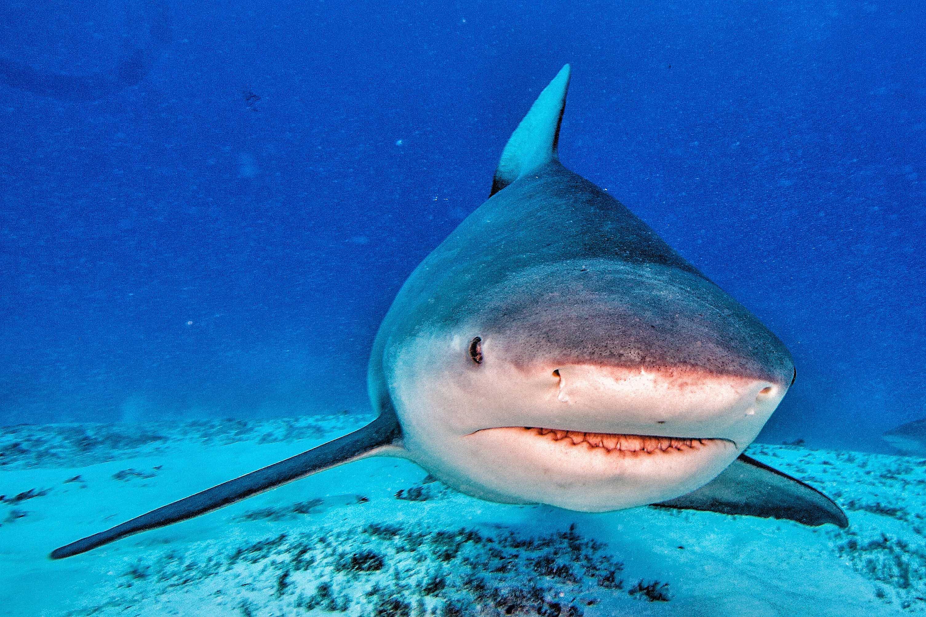 Tiburon sarda 2